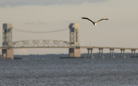 Brown pelican flying toward TMMP with the James River Bridge in the background (Photo by R. Milam)